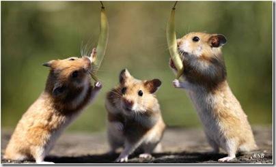 animalesdivertidos roedores (5)