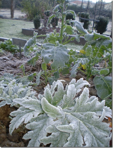 Frost in June 2010 003