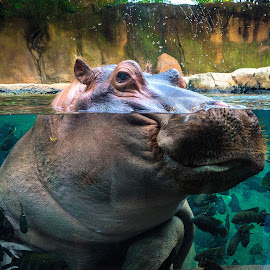 Hello Up There by James Kirk - Animals Other Mammals ( water, animals, zoo, head, rhino )
