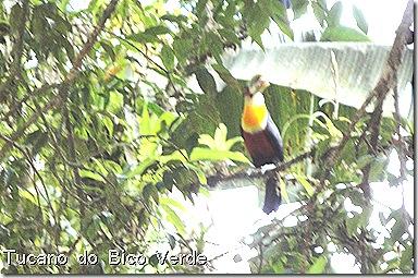 Tucanos 20set2010 jabuticabeira arboretum 003