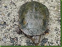Tartaruga da pousada 004