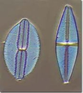 Diatoms-grass-of-sea