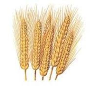 Wheat-triticum