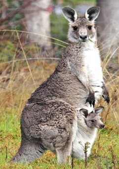 Kangaroo-australia-national-animal