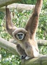 Gibbon-Smallest-ape