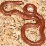 Lepto-typhlops-Smallest-snake