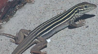 Cnemidophorus_uniparens_fastest-reptile