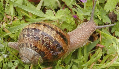 Helix-aspersa-slowest-Mollusc