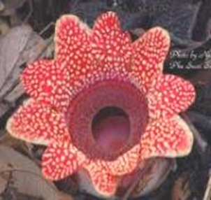 Sapria-largest-indian-flower