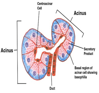 ACINUS GLANDS