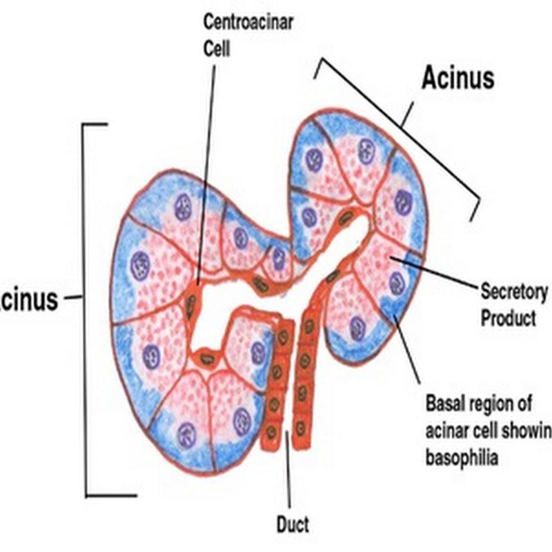 Exocrine Glands Biozoom