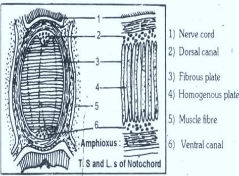 Notochord-Amphioxus