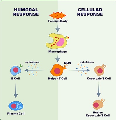 immunity-humoral-cellular-responce