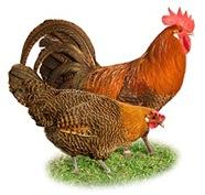 fowl-domestic