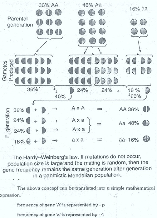 Hardy-Weinberg-law-3