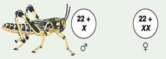 sexdetermination-grasshopper-xx-xo-type-