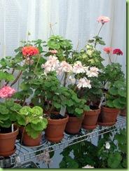 Blomster og drivhus mai 09 014