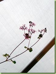 Blomster og drivhus mai 09 013