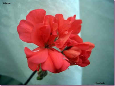 Pelargoner 09 013-1