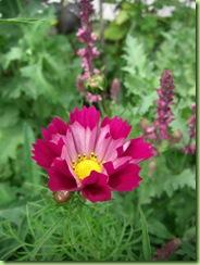 Blomster i haven juli 09 004