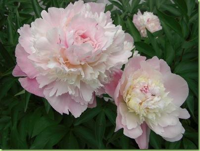 Blomster i haven juli 09 038