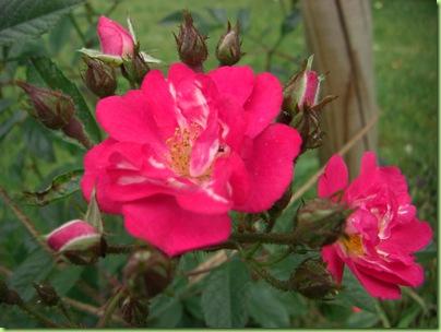 Blomster i haven juli 09 041