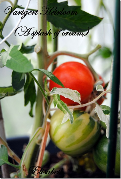 Tomater og edderkopp 031