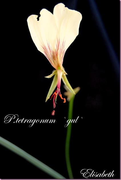 Pelargonium  juli -10 006