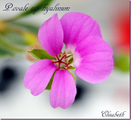 Pelargonium april -11 025
