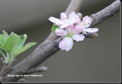 Bunga epal dibukit  mahkota