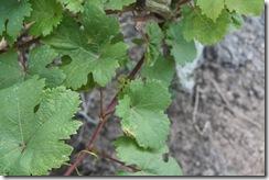 Ladang Anggur Kak CT 13.11.2010 022