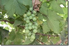 Ladang Anggur Kak CT 13.11.2010 024