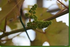 Bunga Anggur IAC 004