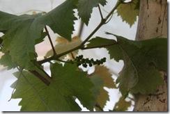Anggur kak CT 3.2.2011 001
