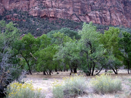 Deer grazing at Zion
