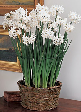 paperwhites white flower farm