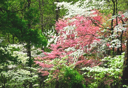 DSC_1870_Dogwood_Spring