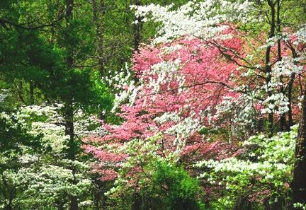 DSC_1870_Dogwood_Spring