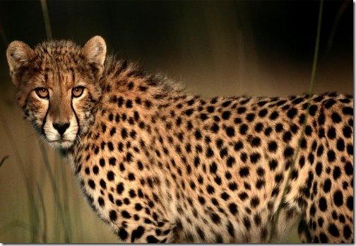 africa_cheetah