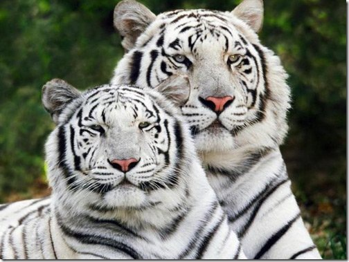 white_bangal_tigers