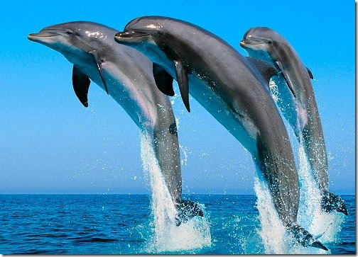 dolphins_wallpaper_02