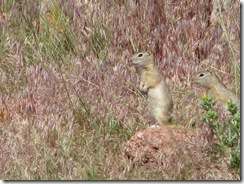 1303 Prairie Dogs at Ames Monument WY
