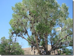 2494 Loneliest Road - Lincoln Highway Shoe Tree between Austin & Fallon NV
