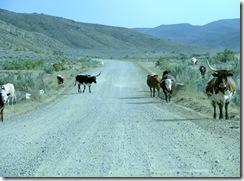 6107 Cattle on Elk Basin Road MT