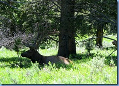 9291 Elk near South Rim Road YNP WY