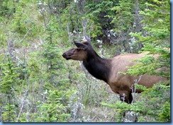 9938 Elk at  Jasper National Park AB