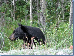 10038 Black Bear Jasper National Park AB