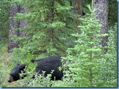 10050 Black Bear Jasper National Park AB