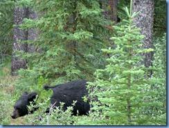 10050 Black Bear Jasper National Park AB