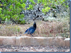 4352 Stellers Jay at Fairyland Canyon Bryce Canyon National Park UT